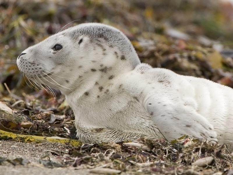 Harbor Seal | Phoca vitulina photo