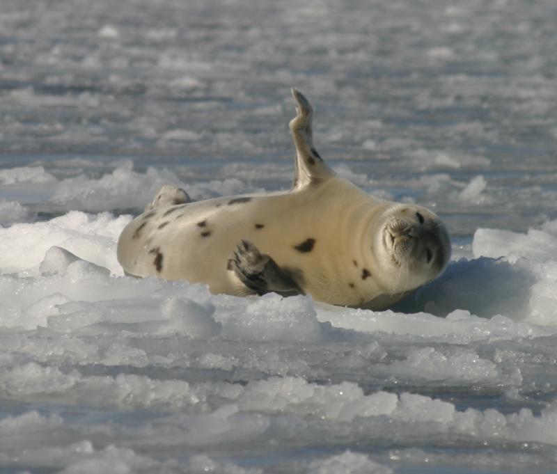 Harp Seal | Phoca groenlandica photo