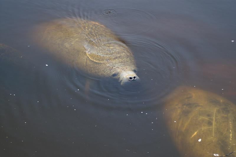 West Indian Manatee   Trichechus manatus photo