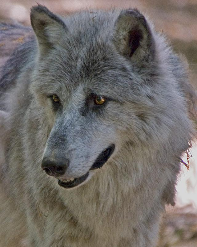 Gray Wolf | Canis lupus photo