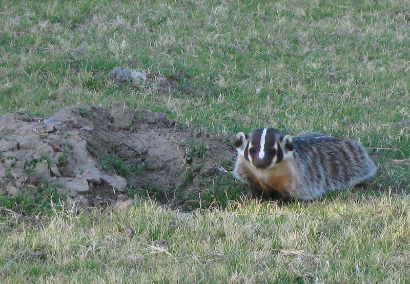 American Badger | Taxidea taxus photo