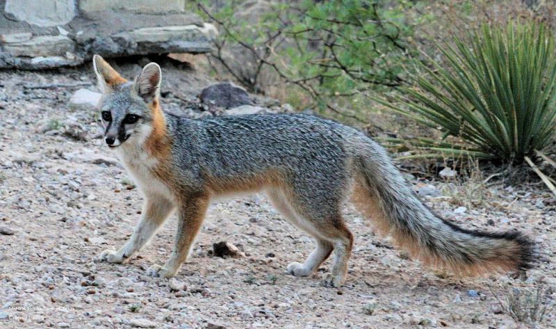 Common Gray Fox   Urocyon cinereoargenteus photo