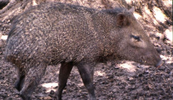 Collared Peccary | Pecari tajacu photo