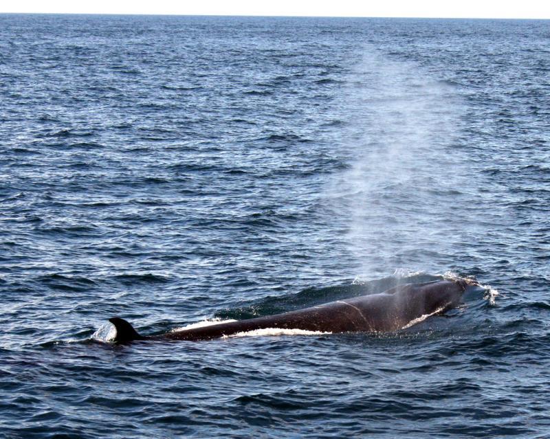 Sei Whale | Balaenoptera borealis photo