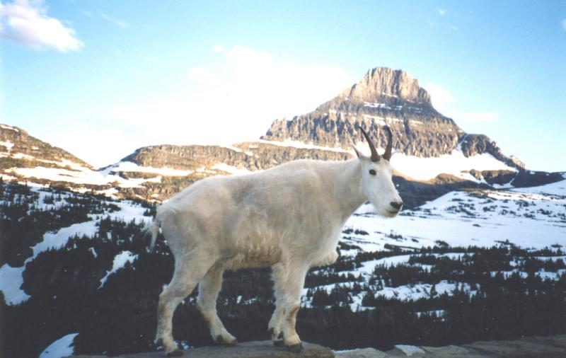 Mountain Goat | Oreamnos americanus photo