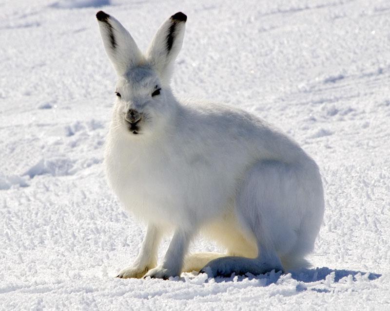 Arctic Hare | Lepus arcticus photo