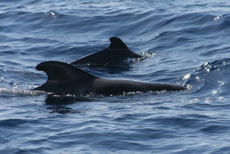 Short-finned Pilot Whale | Globicephala macrorhynchus photo