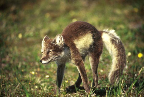 Arctic Fox | Alopex lagopus photo
