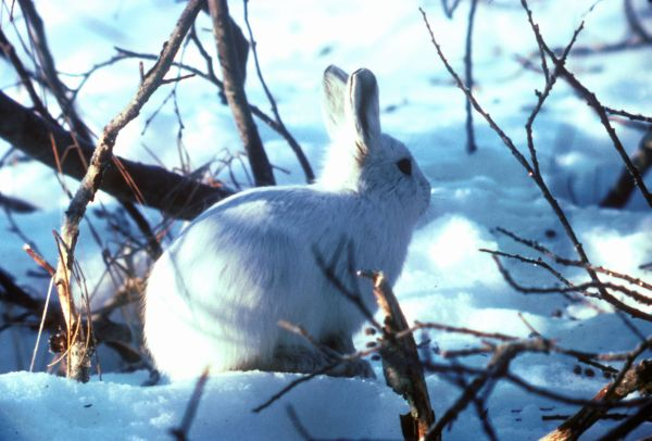 Arctic Hare | Lepus arcticus photo
