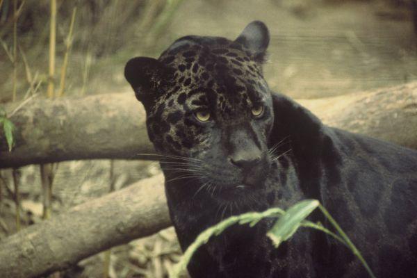 Jaguar | Panthera onca photo