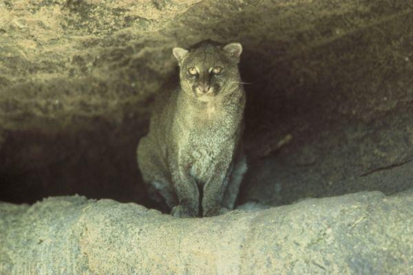 Jaguarundi | Puma yaguarondi photo