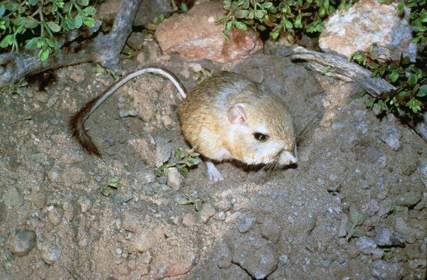 Giant Kangaroo Rat | Dipodomys ingens photo