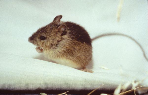 Meadow Jumping Mouse | Zapus hudsonius photo
