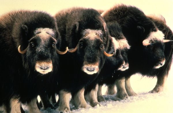 Muskox | Ovibos moschatus photo