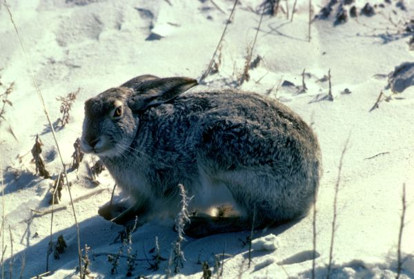 White-tailed Jackrabbit | Lepus townsendii photo