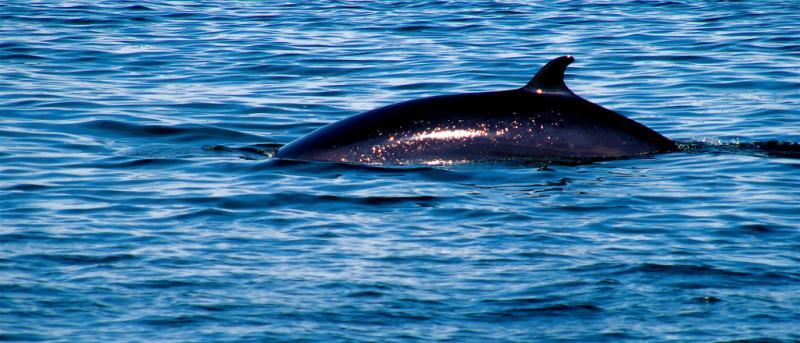 Northern Minke Whale | Balaenoptera acutorostrata photo