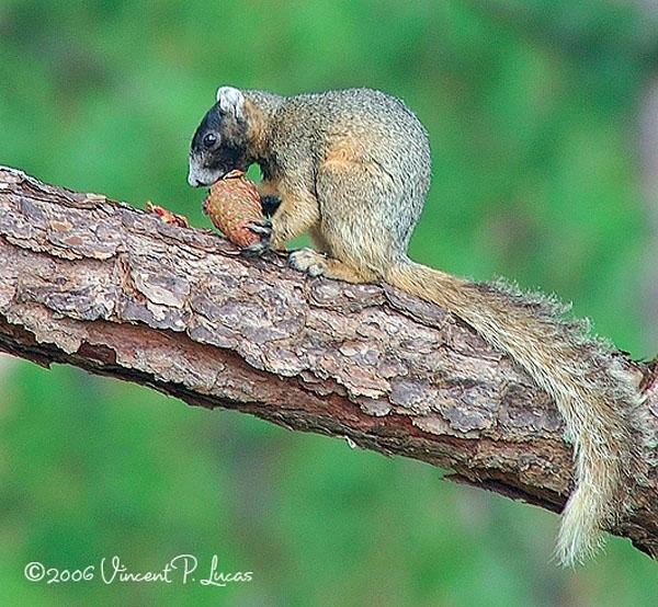 Eastern Fox Squirrel | Sciurus niger photo