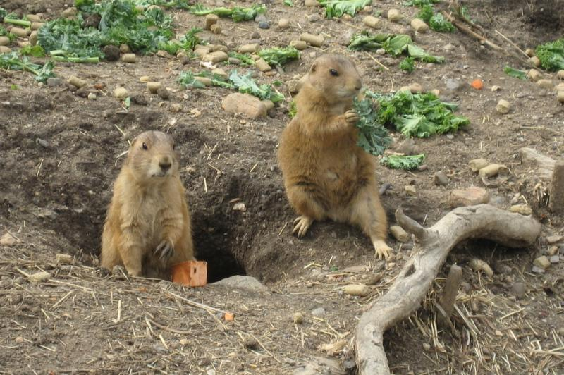 Black-tailed Prairie Dog | Cynomys ludovicianus photo