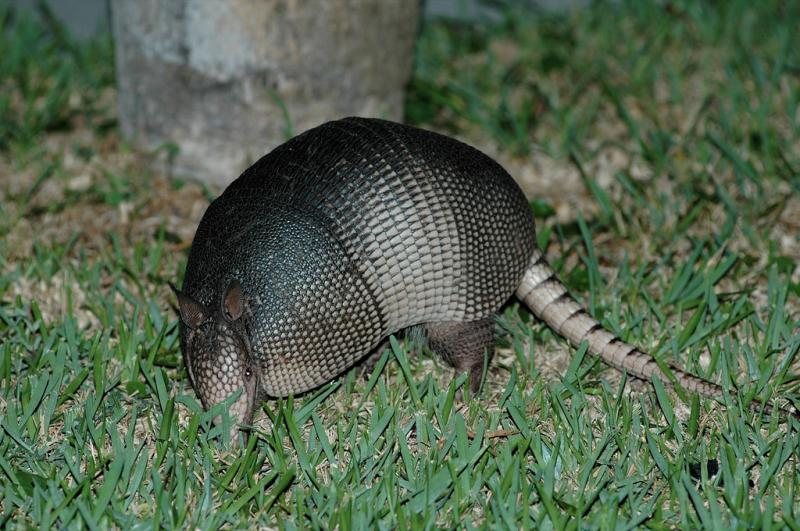 Nine-banded Armadillo | Dasypus novemcinctus photo