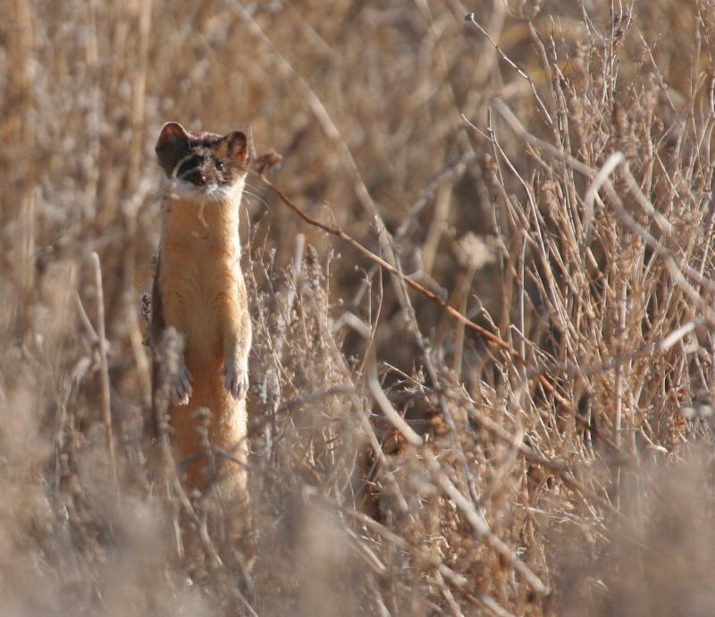 Long-tailed Weasel | Mustela frenata photo