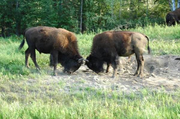 American Bison   Bison bison photo
