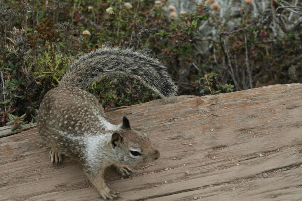California Ground Squirrel | Spermophilus beecheyi photo