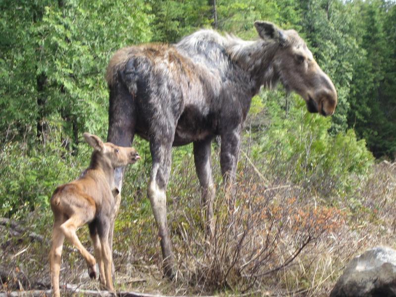 Moose   Alces alces photo