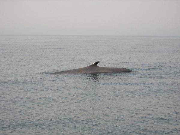 Fin Whale | Balaenoptera physalus photo