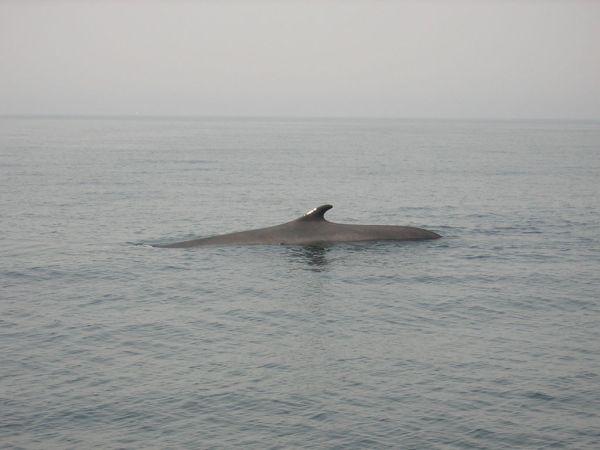 Fin Whale | Balaenoptera physalus photo