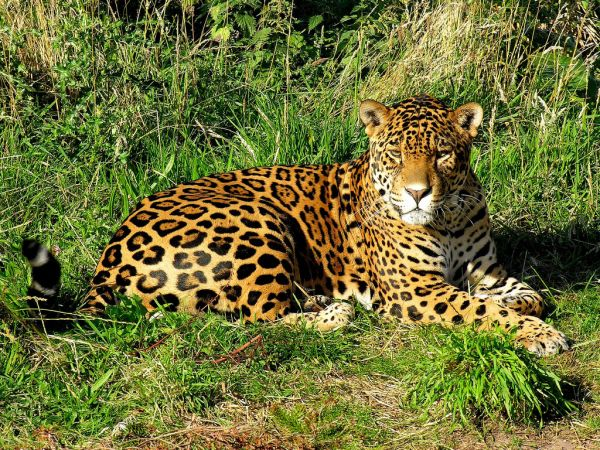 Jaguar | Panthera onca photo