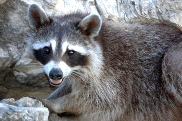 Northern Raccoon | Procyon lotor photo