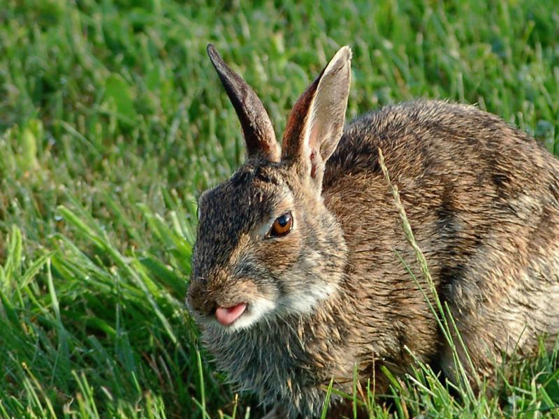 Eastern Cottontail | Sylvilagus floridanus photo