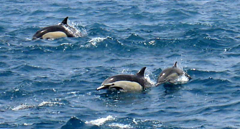 Short-beaked Common Dolphin | Delphinus delphis photo