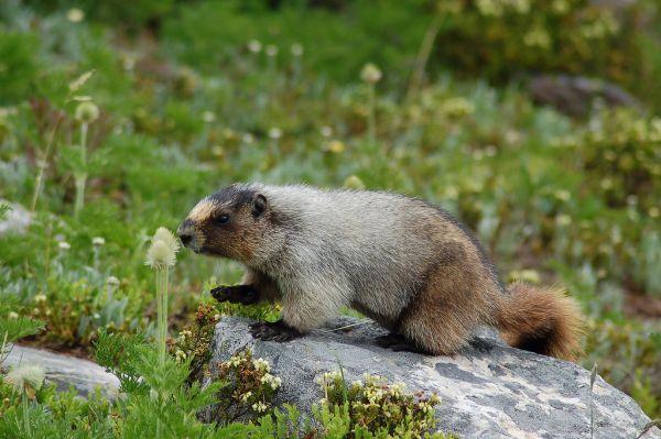 Hoary Marmot | Marmota caligata photo