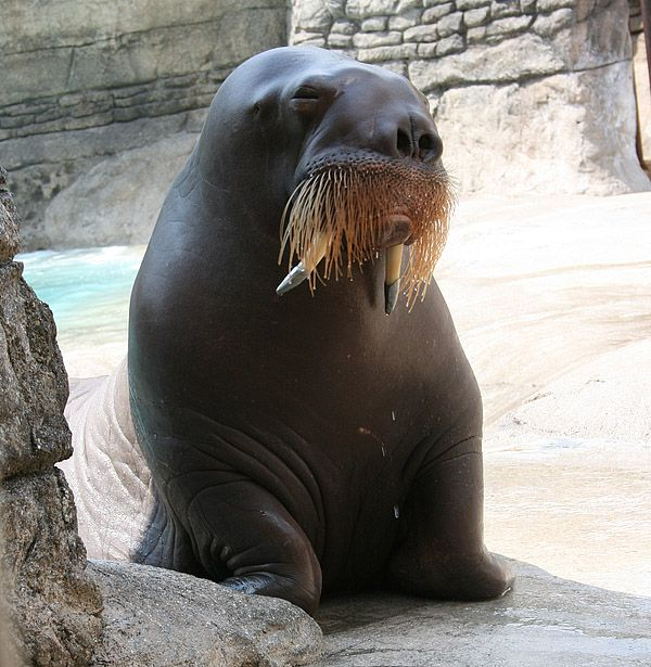 Walrus | Odobenus rosmarus photo