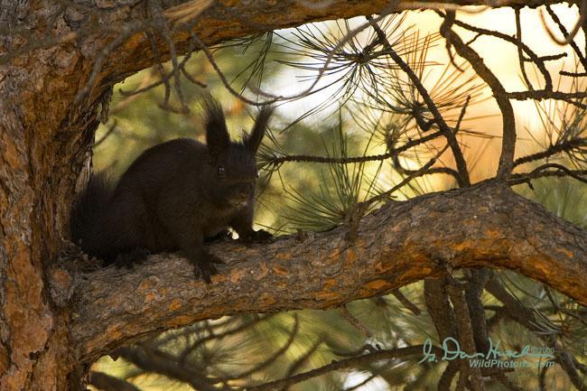 Abert's Squirrel | Sciurus aberti photo