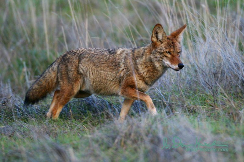 Coyote   Canis latrans photo