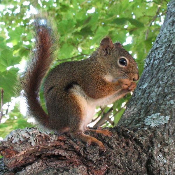 Red Squirrel | Tamiasciurus hudsonicus photo