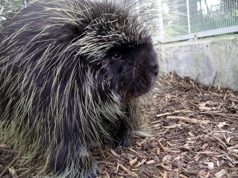 North American Porcupine | Erethizon dorsatum photo