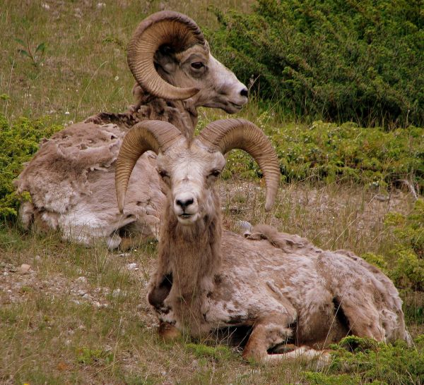 Bighorn Sheep | Ovis canadensis photo