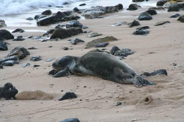 Hawaiian Monk Seal | Monachus schauinslandi photo