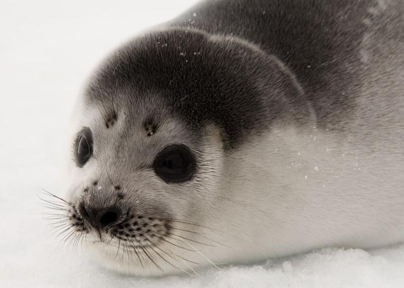Ribbon Seal | Phoca fasciata photo