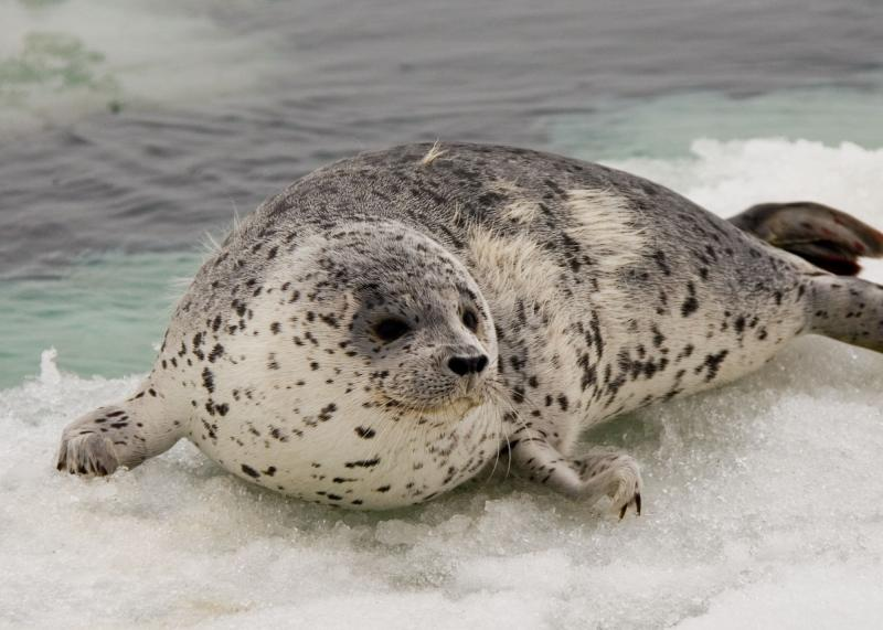 Spotted Seal | Phoca largha photo