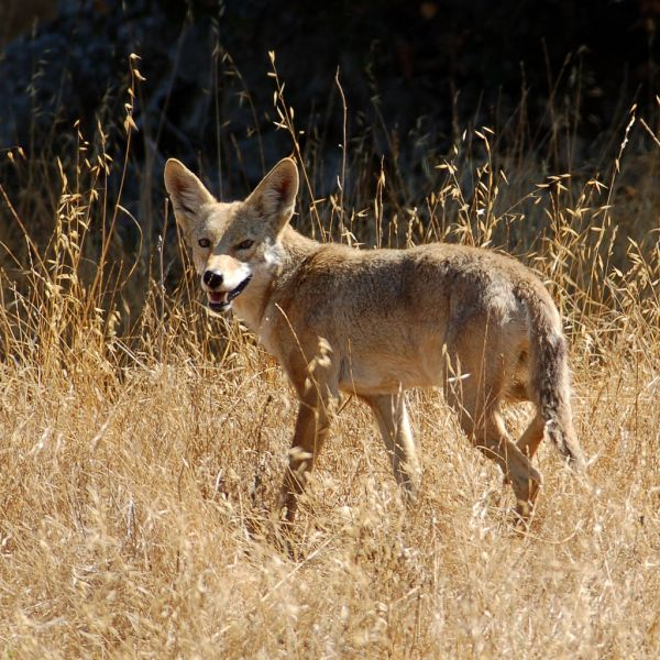 Coyote | Canis latrans photo