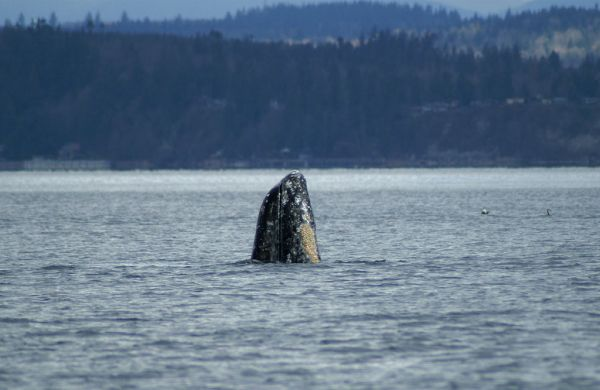 Gray Whale | Eschrichtius robustus photo