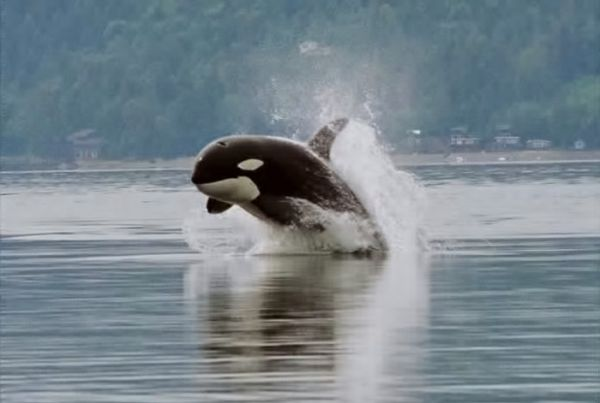 Killer Whale | Orcinus orca photo