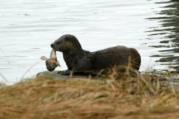 Northern River Otter | Lontra canadensis photo
