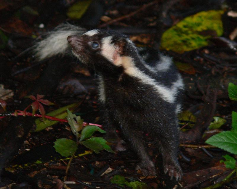 Eastern Spotted Skunk | Spilogale putorius photo