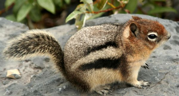 Golden-mantled Ground Squirrel | Spermophilus lateralis photo
