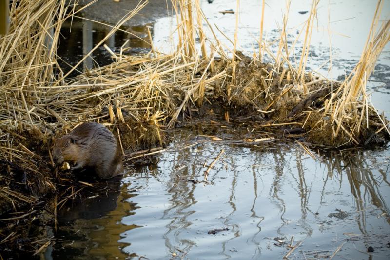 American Beaver | Castor canadensis photo